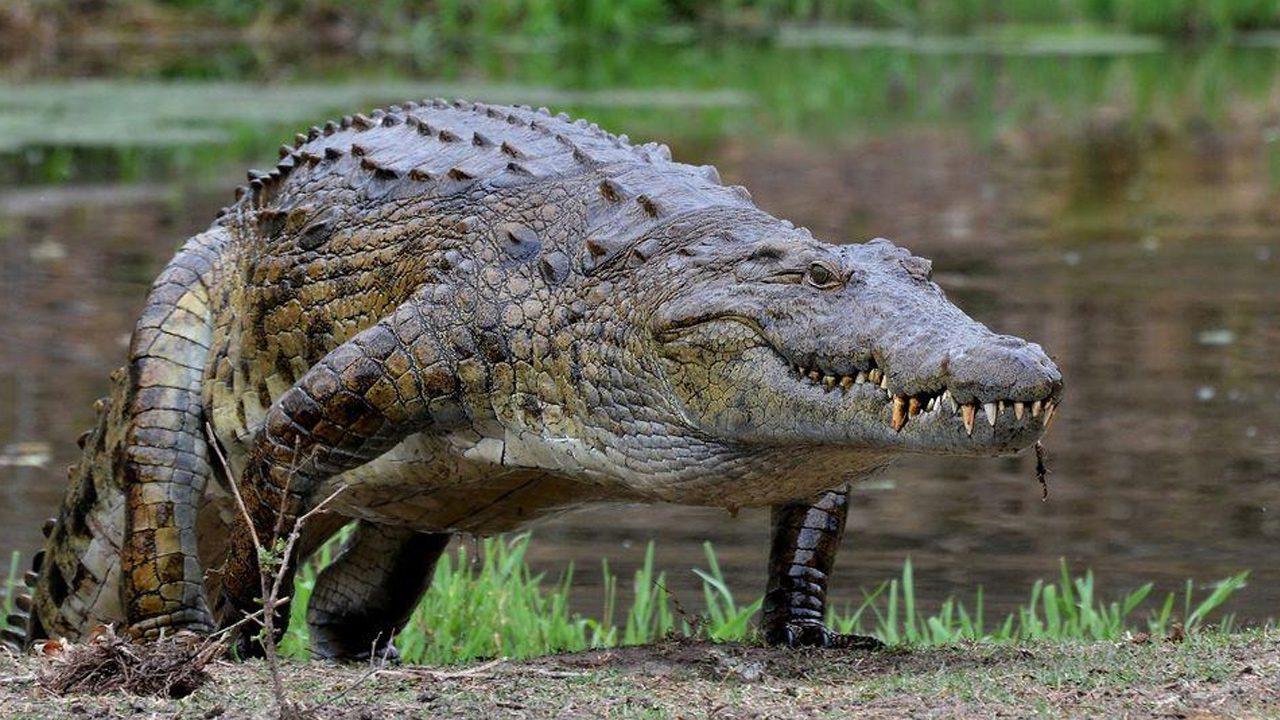 [Imagen: cocodrilo-gigante.jpg]